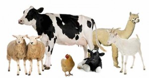 Vocabulaire anglais – Les animaux de la ferme : Farm animals