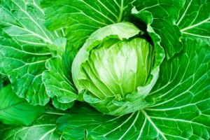 Choux - Cabbage